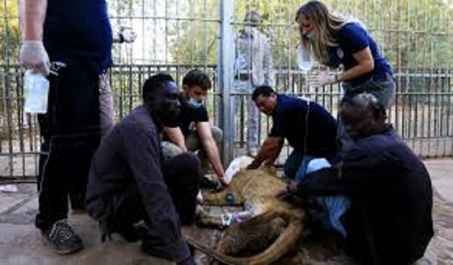 Four Paws International Saves Dying Lions Of Algurashi Park