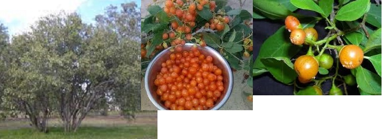 Andrab Tree: Important Medical And Economic Benefits