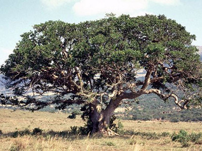 Sycamore, The Sudan's Fig