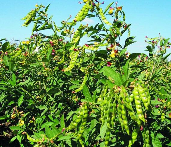 Pigeon Pea: Healthy Meat Alternative