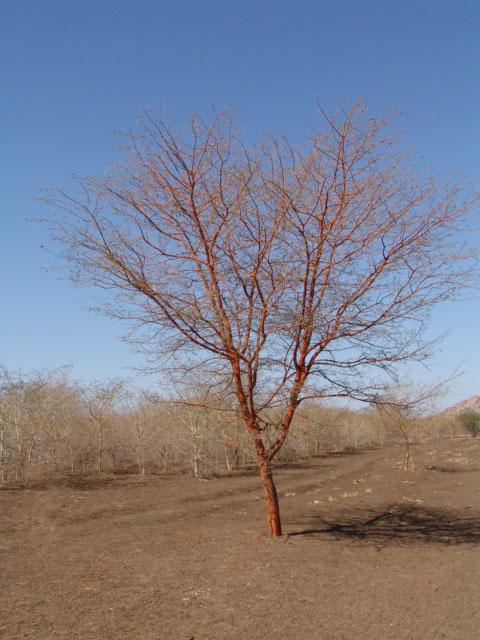 Talih  (acacia seyal)