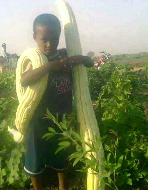 Gigantic Ajjour Vegetable Thought Qualified For Guinness World Records