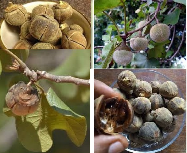 Amgaggag (Thespesia):  A Natural Treasure Sudan Endowed With