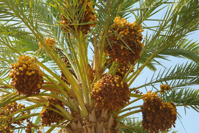 Dates Production Requires More Government Attention