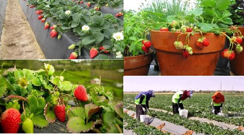 Strawberries Found To Flourish Very Well In Sudan