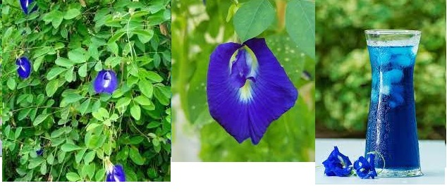 Clitoria Can Make Great National Wealth