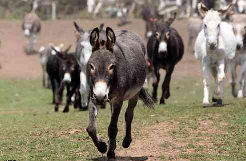 Faithful Donkey Dies After Owner Leaves It