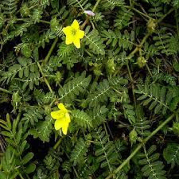 The Thorny Alderaisa Plant: A Neglected National Wealth