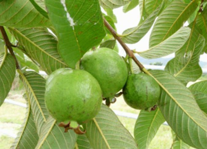 Guava, The Tree That Bears Fruit All The Year Round