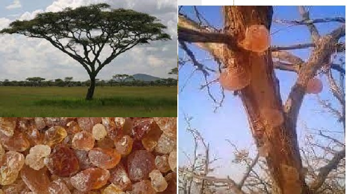 Gum Arabic Reduces Progression Of Chronic Kidney Disease, Study