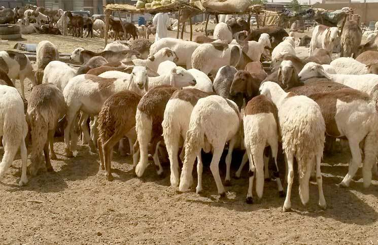 Man Forgoes Hard-won Bairam Sheep To Poor Orphans, Gets Better Replacement