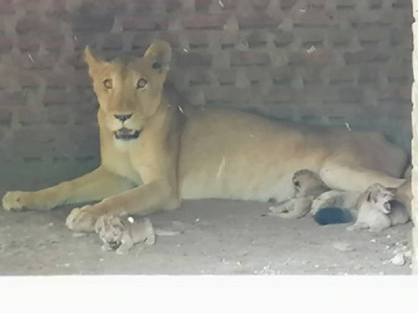 Dying Lioness Saved In January Now Delivers Four Cubs