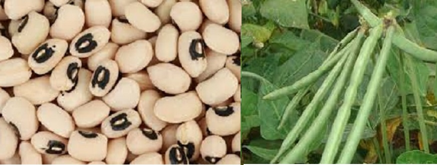 Luba Abyad, A Highly Useful Legume