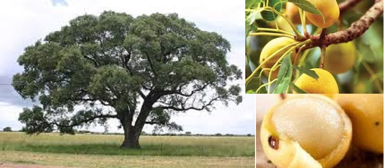 Himmaid (Marula): A Forest Product Loved By All, Children And Adults