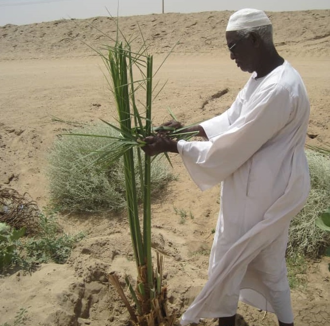 The Date Palm, An Original Sudanese Heritage Bound To Man's Life