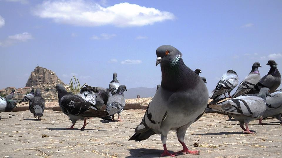 Pigeon: An Economic And Nutritious Hobby, With Unique Characteristics