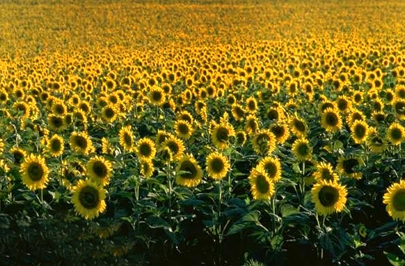 Sunflower Cultivation Can Boost The Economy A Good Deal, Businessman