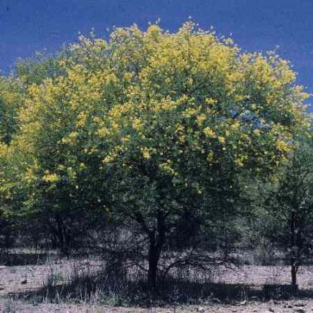 The Sunut Tree