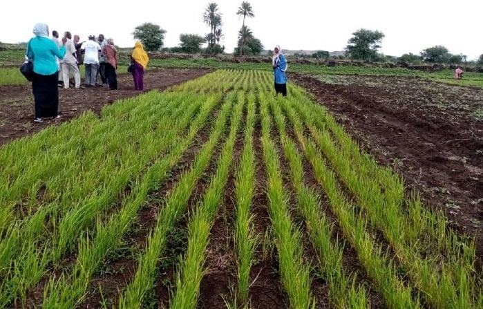 Upland Rice Production Continuously On The Rise In Sudan