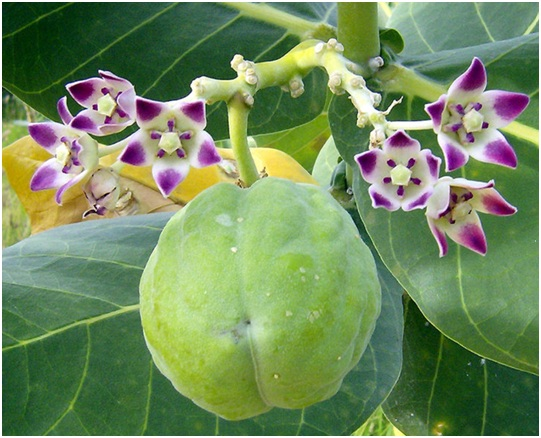 Calotropis Procera:  A Long Neglected Valuable Plant